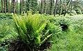 Ferns, Ballysallagh forest, Craigantlet (2) - geograph.org.uk - 1925941.jpg