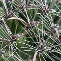 Ferocactus wislizeni (1055437193).jpg