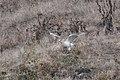 Ferruginous Hawk (light morph adult) between Mendoza B & Nunes Ranch Pt Reyes CA 2018-10-04 12-54-33 (31893547268).jpg