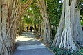 Ficus altissima allee - Marie Selby Botanical Gardens - Sarasota, Florida - DSC01331.jpg