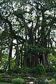Ficus benghalensis - Zafar Khan Ghazi Masjid and Dargah Site - Tribeni - Hooghly - 2013-05-19 7684.JPG