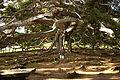 Ficus benjamina B.jpg