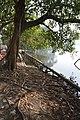Ficus religiosa Roots Hold Soil Together - Santragachi Jheel - Howrah 2017-12-25 5671.JPG