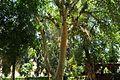 Ficus sycomorus, Aswan BT.jpg