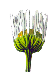 Fiore Asteraceae 06.png