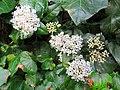 Fiori di viburnum tinus.jpg