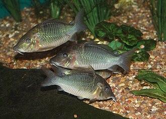 Hog-nosed catfish - Image: Fish at Louisville Zoo 025