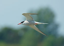 Fisktärna - Common Tern (8528940562).jpg