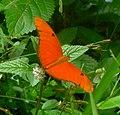 Flambeau. Dryas iulia - Flickr - gailhampshire (1).jpg