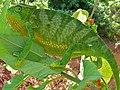 Flap-neck Chameleon (Chamaeleo dilepis) (6861418103).jpg
