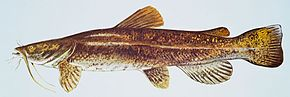Description de l'image Flathead catfish.jpg.