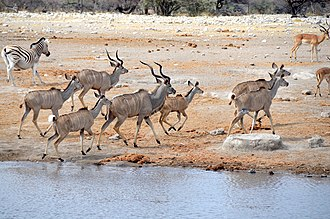 Kudu - Fleeing Kudu at Etosha National Park in Namibia