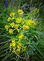 Fleur en Vanoise (24).JPG