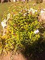 Fleur non connue 20151001 134054.jpg