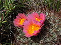 Flickr - brewbooks - Pediocactus simpsonii.jpg