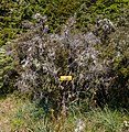 Flora of Cobb Valley, Kahurangi National Park, New Zealand 33.jpg