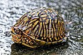 Florida Box Turtle, Glynn County, GA, US.jpg