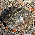 Florida Box Turtle (Terrapene carolina bauri) (6165877600).jpg