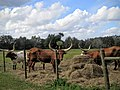 "Florida Longhorn ""Cracker"" Cattle - panoramio.jpg"