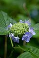 "Flower, Hydrangea ""Jyogasaki"" - Flickr - nekonomania.jpg"