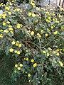 Flower in Kaduna 04.jpg