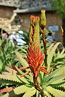 Flower of Aloe on Mount of Olives (1).jpg