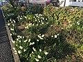 Flowers of Narcissus tazetta 20200204-2.jpg