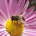 Fly (Diptera) collecting from a daisy.jpg