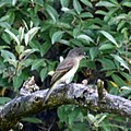 Flycatcher (4823357329).jpg