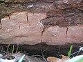 Fomitiporia tsugina Murrill 519857.jpg