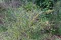 Forêt de Fontainebleau-RGFHS-Cytisus scoparius-Genêt à balais-20170702.jpg