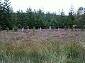 Forest margin with heather and deciduous saplings - geograph.org.uk - 553157.jpg