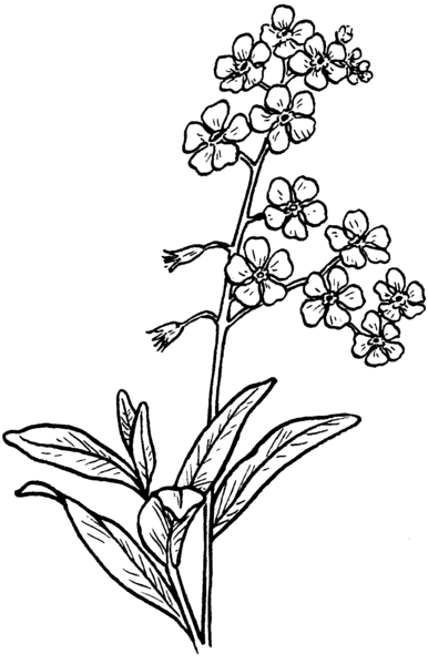 File:Forget-Me-Not (PSF).png - Wikimedia Commons