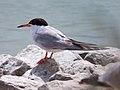 Forster's Tern (banded) (5429549451).jpg