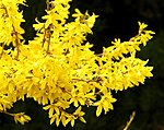 Forsythia flower 1r.jpg