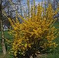 Forsythia intermedia a1.jpg