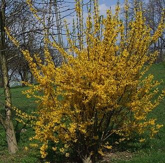 Forsythia × intermedia - Image: Forsythia intermedia a 1