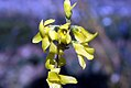 Forsythia x intermedia Lynwood 1zz.jpg