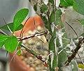 Fouquieria fasciculata 4.jpg
