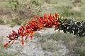 Fouquieria splendens Ocotillo Cactus bloom.jpg