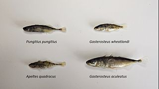 Stickleback family of fish (Gasterosteidae)