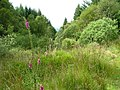 Foxglove and Mixed Trees - geograph.org.uk - 512244.jpg