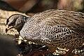 Francolinus natalensis -Pilanesberg National Park, South Africa-8.jpg