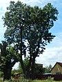 Fraxinus excelsior Przyłęki.jpg