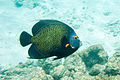 French angelfish Pomacanthus paru (2447874410).jpg
