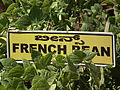 French bean plant from lalbagh 2332.JPG
