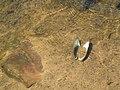 Freshwater Mussel Shell - geograph.org.uk - 424761.jpg