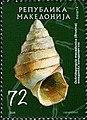 Freshwater Snail (Ochridopyrgula macedonica).jpg