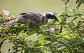 Friarbird 8 (23396072899).jpg