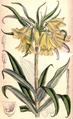 Fritillaria raddeana 128 1902 MS JNFitch.png